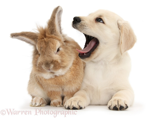 Yellow Labrador Retriever puppy, 8 weeks old, yawning in Lionhead-cross rabbit, Tedson's ear, white background