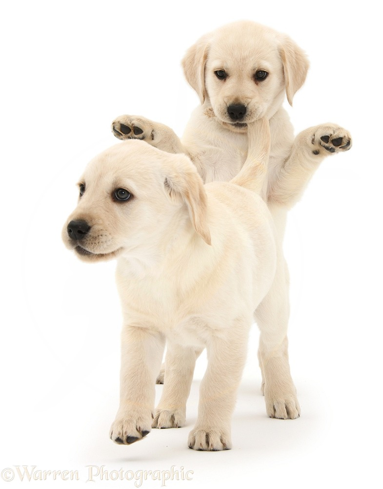 Playful Yellow Labrador Retriever puppies, 8 weeks old. One has caught hold of the other's tail, white background