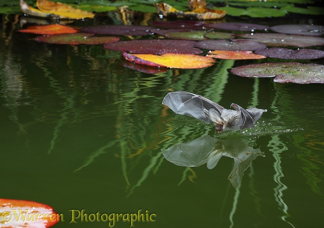 Brown Long-eared Bat (Plecotus auritus) drinking from a lily pond