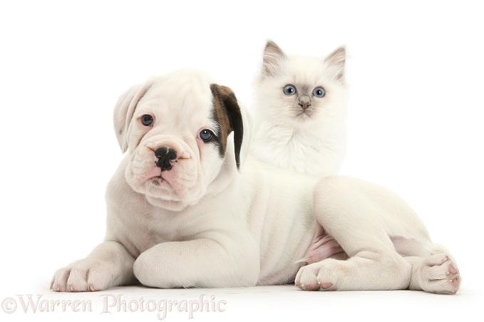 Boxer puppy and blue-point kitten, white background
