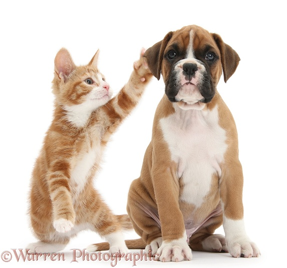 Cheeky ginger kitten, Ollie, 10 weeks old, reaching up and batting the ear of Boxer pup, white background