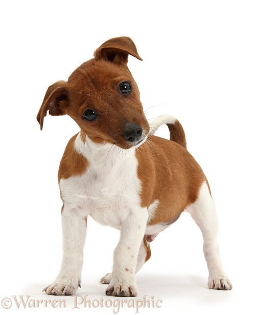 Jack Russell Terrier x Chihuahua pup, Nipper, standing and looking quizzical with head tilted, white background