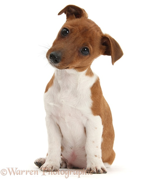 Jack Russell Terrier x Chihuahua pup, Nipper, sitting and looking quizzical with head tilted, white background