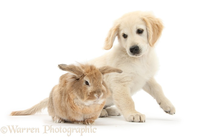 Lionhead-cross rabbit, Tedson, and Golden Retriever dog pup, Oscar, 3 months old, white background