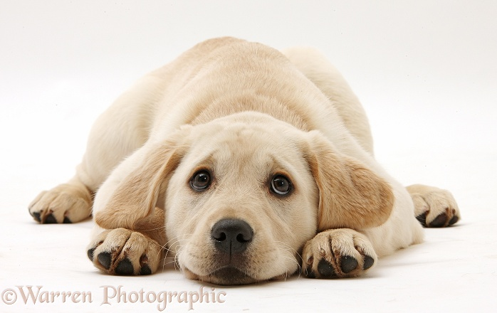 Yellow Labrador Retriever pup, 3 months old, lying with chin on the floor, white background