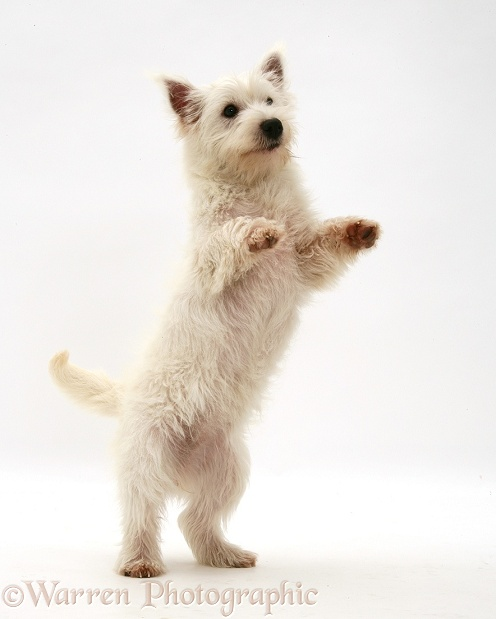 West Highland White Terrier pup standing up, white background