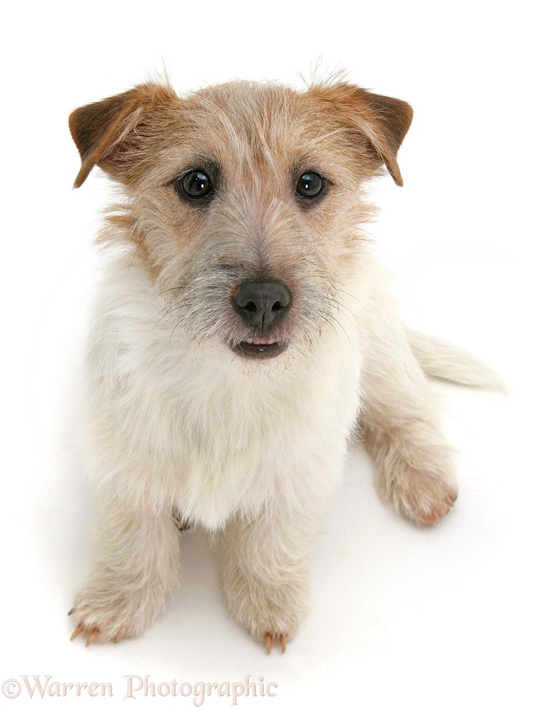 Jack Russell Terrier, Daisy, sitting and looking up, white background
