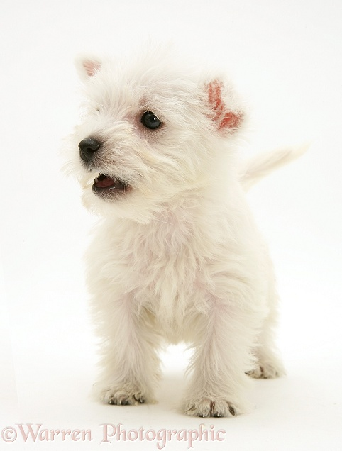 West Highland White Terrier pup, standing, white background