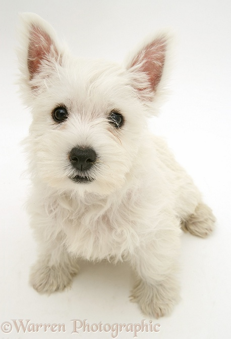 West Highland White Terrier pup, sitting and looking up, white background