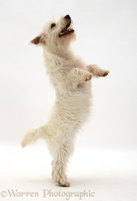 dog westie pup standing up photo   wp34975