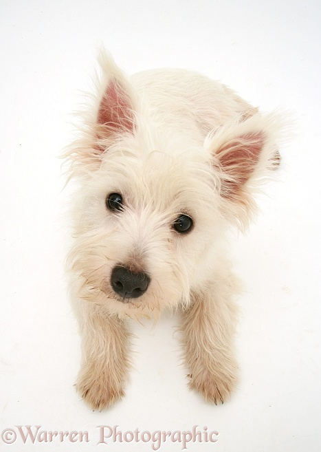 West Highland White Terrier, from above, looking up, white background