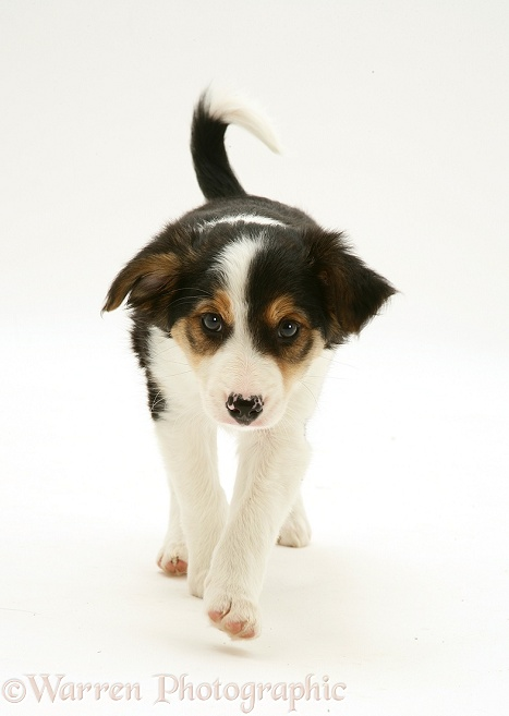 Tricolour Border Collie pup, trotting, white background