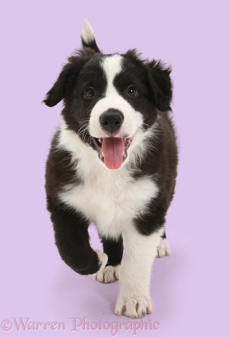Black-and-white Border Collie pup, Gus, running, white background