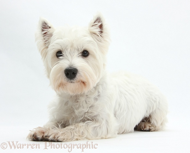 West Highland White Terrier, Betty, lying with head up, white background