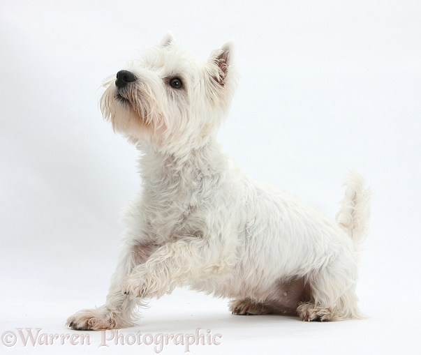 West Highland White Terrier, Betty, with one paw raised, white background