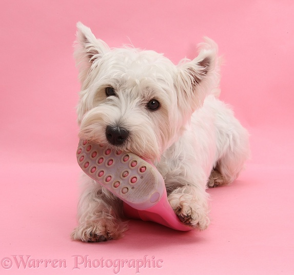 West Highland White Terrier, Betty, chewing a pink child's wellington boot, on pink background