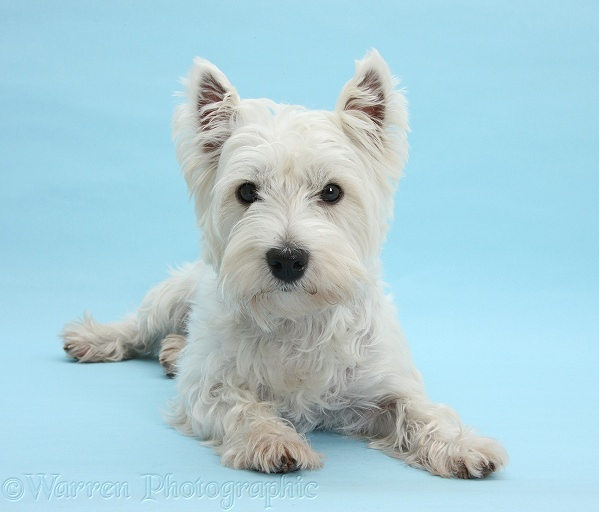 West Highland White Terrier, Betty, lying with head up on blue background