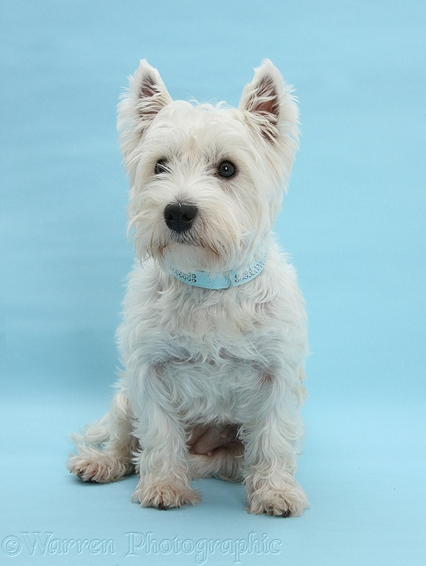 West Highland White Terrier, Betty, sitting on blue background