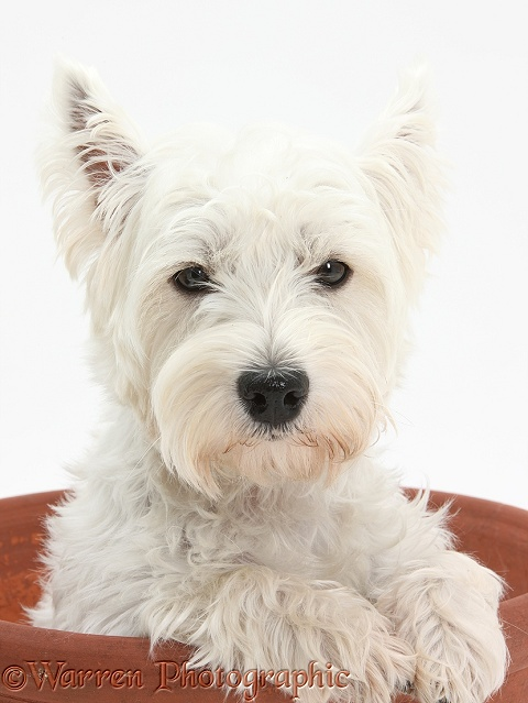 West Highland White Terrier, Betty, in a large flowerpot, white background