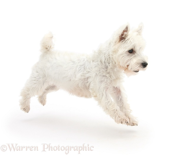 West Highland White Terrier, Betty, leaping across, white background
