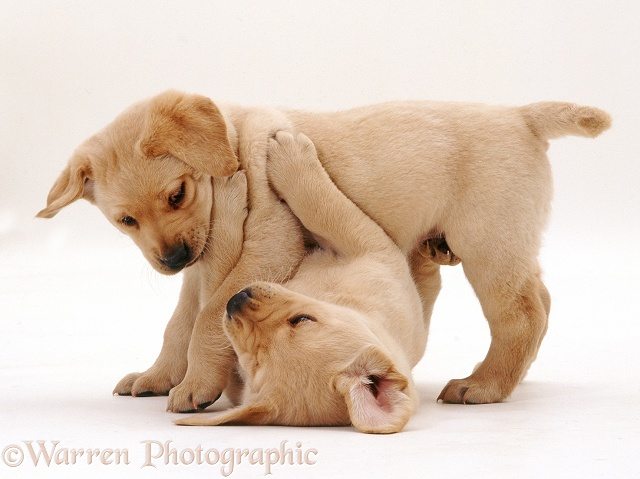 6 weeks old Yellow Labrador Retriever pups' play-fight turns into a dominance struggle, white background