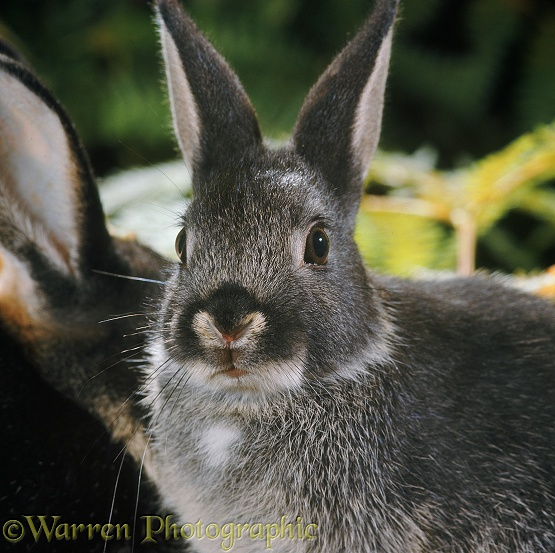 Dwarf Rabbit twitching its nose to expose sensory pad at entrance to each nostril