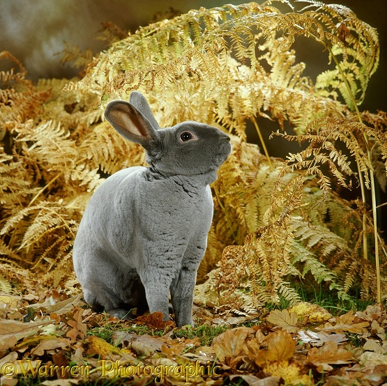 Blue Rex buck Rabbit among autumn leaves and bracken