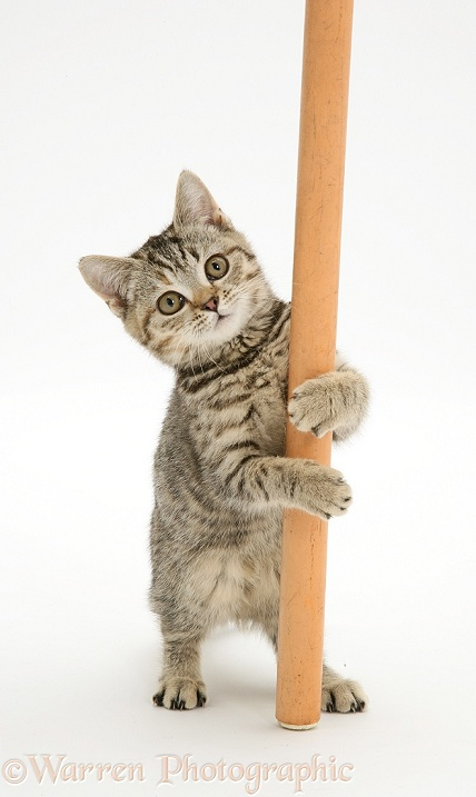 British Shorthair Brown Spotted kitten 'pole dancing', white background