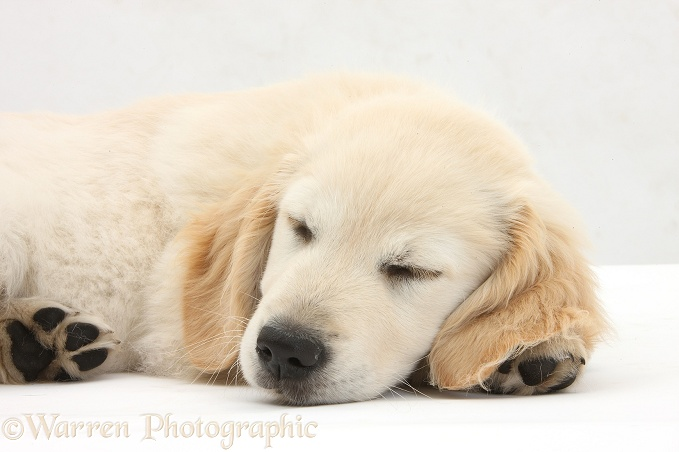 Golden Retriever dog pup, Oscar, 3 months old, sleeping, white background