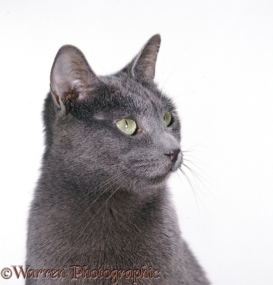 Russian Blue female cat in profile, white background