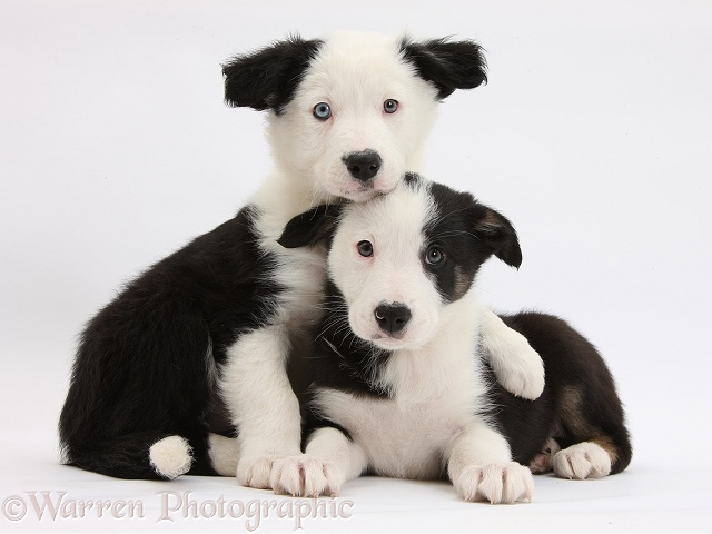Two black-and-white Border Collie puppies, white background