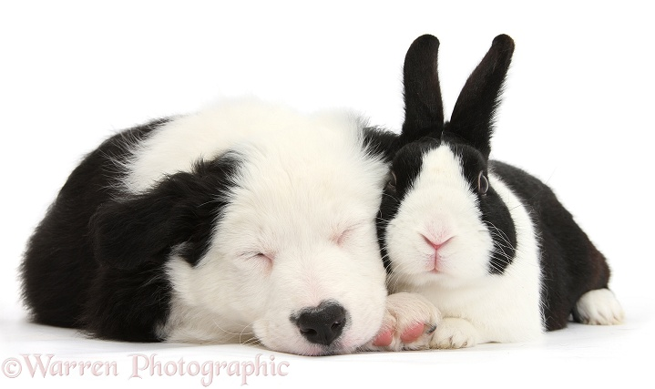 Seeping black-and-white Border Collie pup and black Dutch rabbit, white background