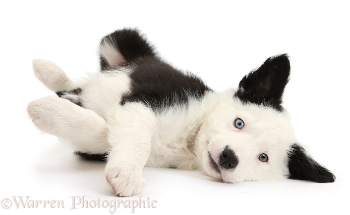Black-and-white Border Collie puppy lying on his side, white background