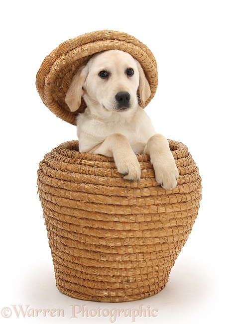 Yellow Labrador Retriever pup, 4 months old, playing in straw basket, with the lid on her head, white background