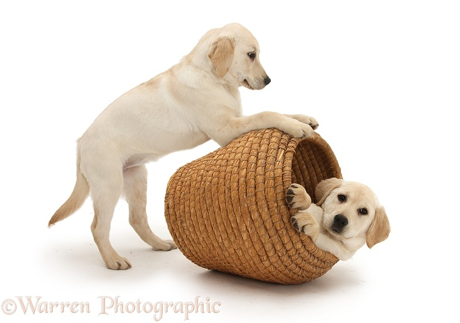 Yellow Labrador Retriever pups, 4 months old, playing in straw laundry basket, white background