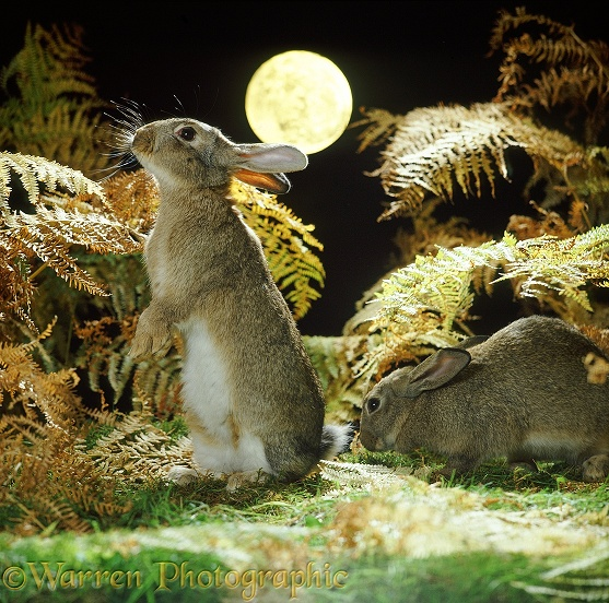European Rabbits (Oryctolagus cuniculus) at night with full moon
