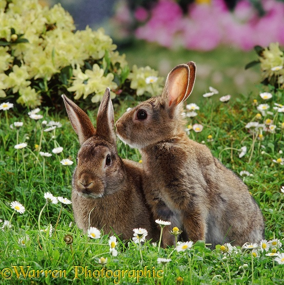 Young European Rabbits (Oryctolagus cuniculus) with daisies