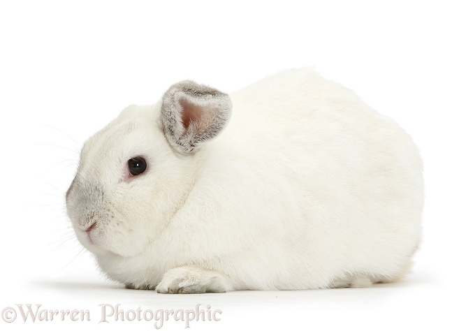 Elderly white rabbit, Foggy, 8 years old, white background