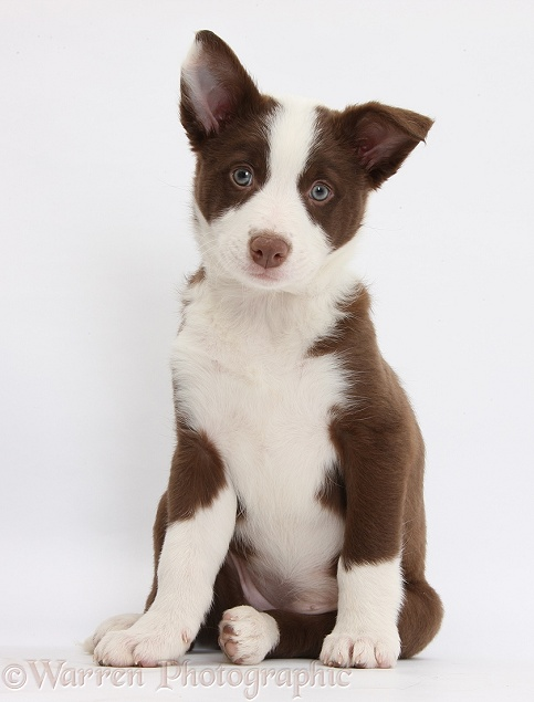 Chocolate Border Collie bitch pup, white background