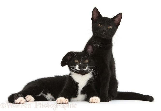 Black and Black-and-white tuxedo male kittens, Tuxie and Buxie, 12 weeks old, lounging together, white background