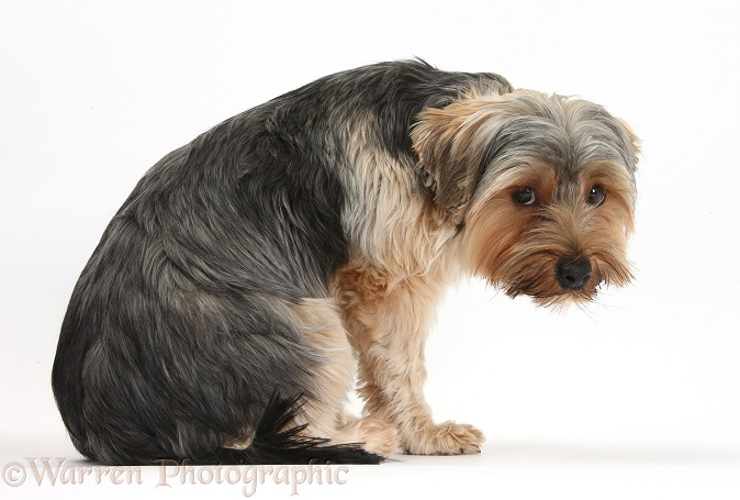 Yorkshire Terrier dog, Dillon, 16 months old, looking anxious, white background