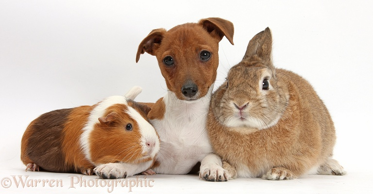 Jack Russell Terrier x Chihuahua pup, Nipper, with Guinea pig, Amelia, and Netherland-cross rabbit, Peter, white background