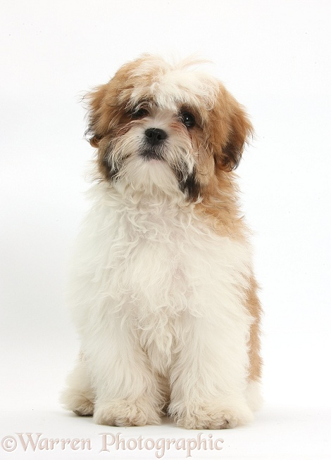 Maltese x Shih-tzu pup, Leo, 13 weeks old, sitting, white background