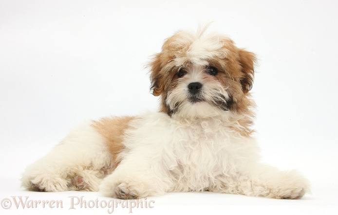 Maltese x Shih-tzu pup, Leo, 13 weeks old, lying with head up, white background
