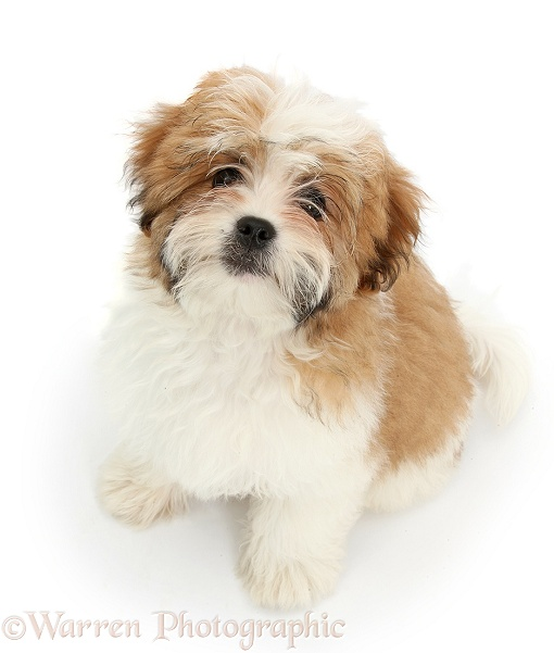 Maltese x Shih-tzu pup, Leo, 13 weeks old, sitting and looking up, white background