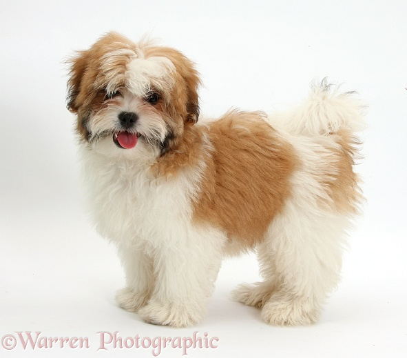 Maltese x Shih-tzu pup, Leo, 13 weeks old, standing, white background