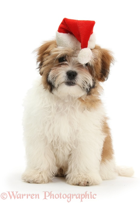Maltese x Shih-tzu pup, Leo, 13 weeks old, wearing a Father Christmas hat, white background