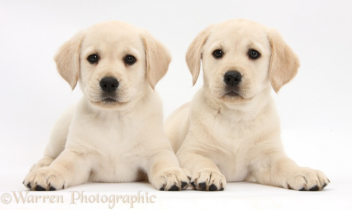 Yellow Labrador Retriever puppies, 8 weeks old, lying with heads up, white background