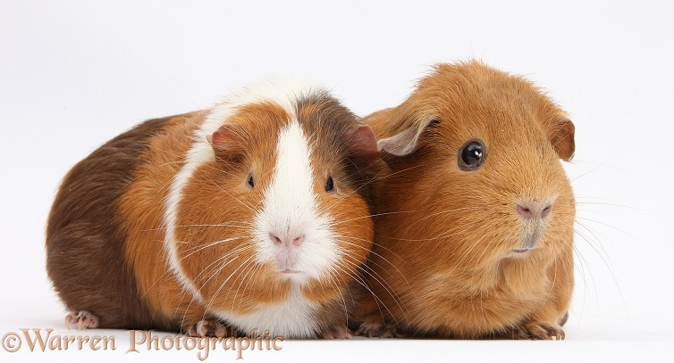Two Guinea pigs, white background