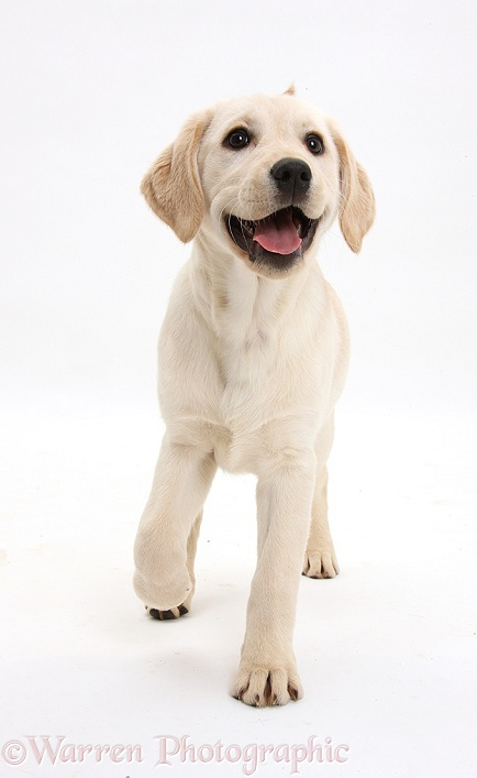Yellow Labrador Retriever pup, 3 months old, trotting forward, white background